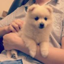 Murim Cream Pomeranian Puppy 7 weeks old